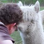 cindy alpaca
